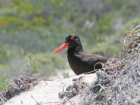 oyster_catcher_2
