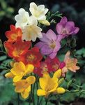 freesia_mixed