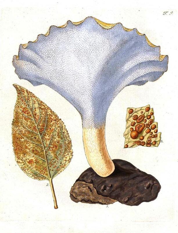 Polyporus tuberaster