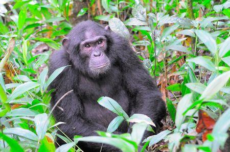 Chimpanz___parc_de_Kibale__Ouganda__7_