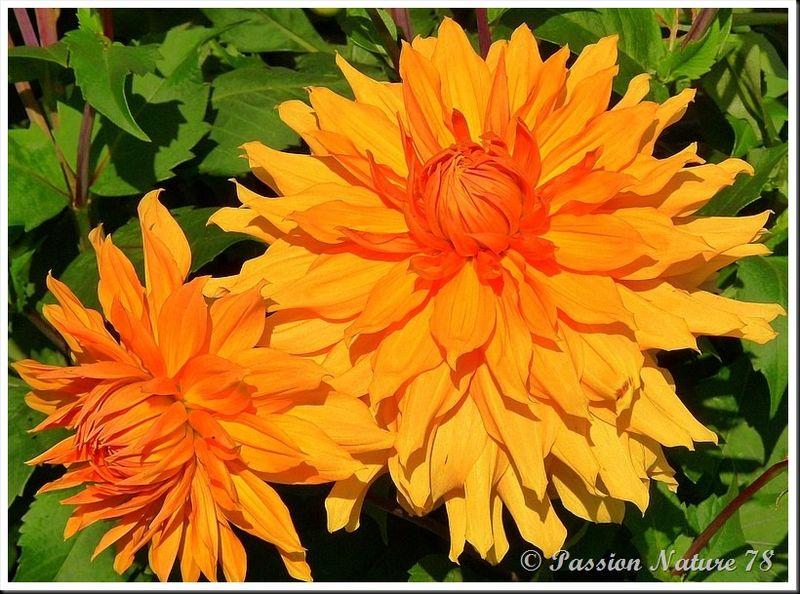 Les dahlias (9)