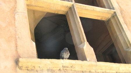 pigeon_fenetre