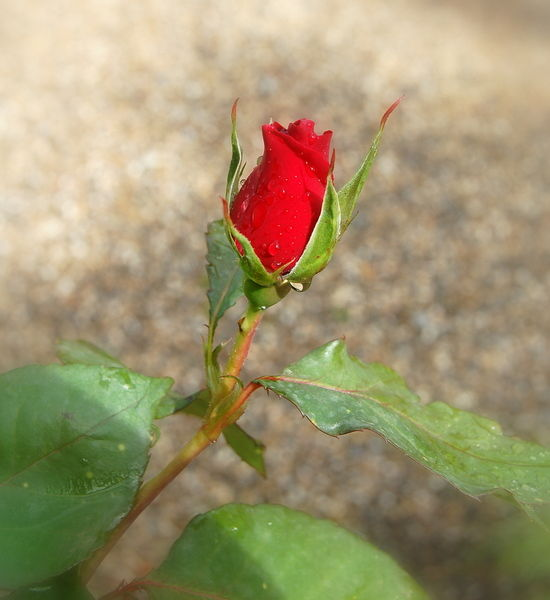 et rose