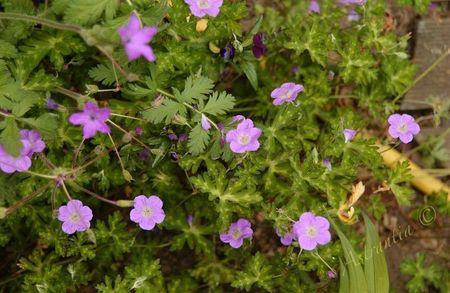geranium orientalilibeticum20