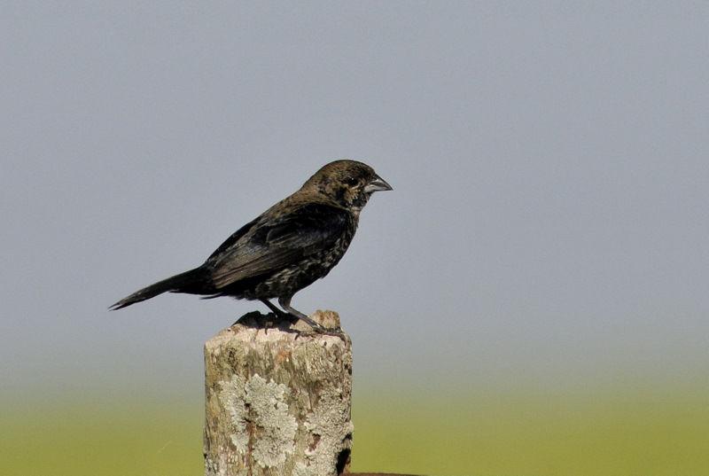 jacarini noir volatinia jacarina oiseaux d 39 argentine