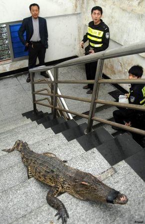 le_crocodile_monte_les_escaliers_7881_w460