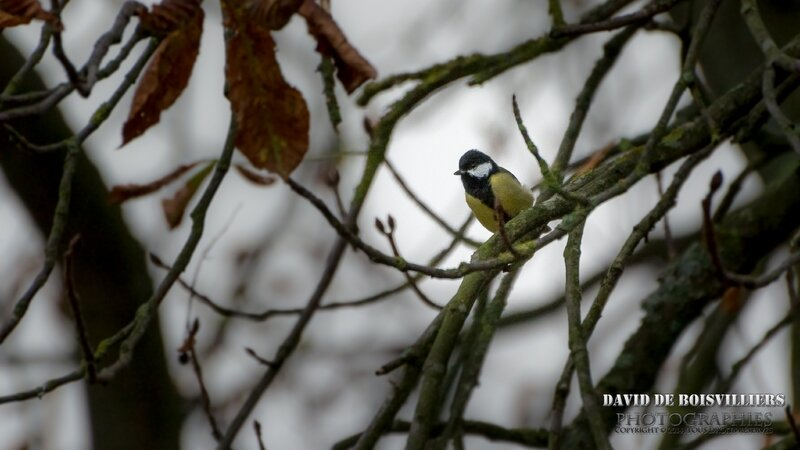 Mésange charbonnière Parus major - Great Tit