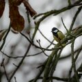Mésange charbonnière (parus major - great tit)