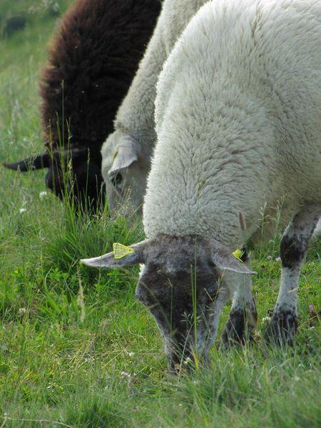 mouton4