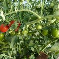 2009 09 07 Mes tomates Estiva Bio