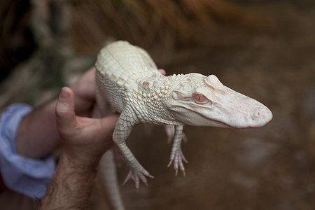 couple_dalligators_albinos_ferme_aux_crocodil_L_3