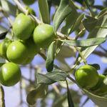 olives_vertes