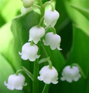 muguet1