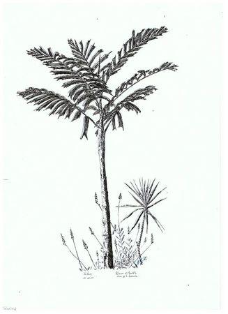 palmier 001