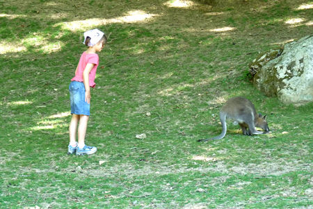 A_wallaby