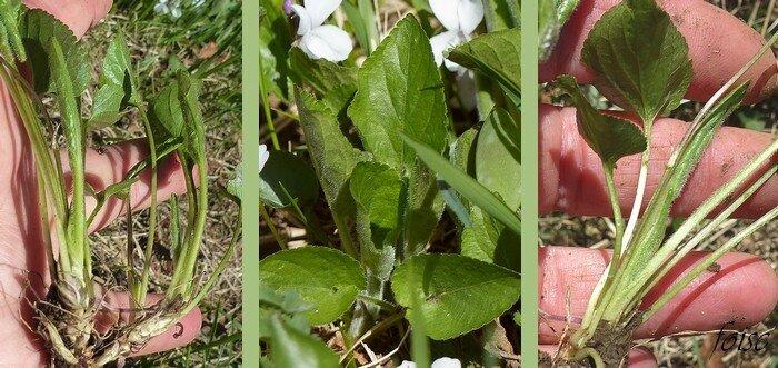 feuilles radicales vert clair ovales-oblongues en coeur crénelées pubescentes