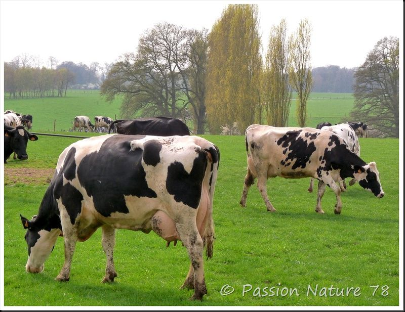La vache Prim'Holstein (7)