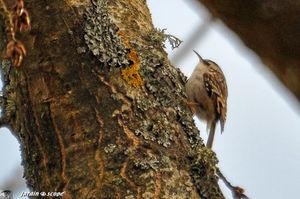 Grimpereau des jardins • Certhia brachydactyla