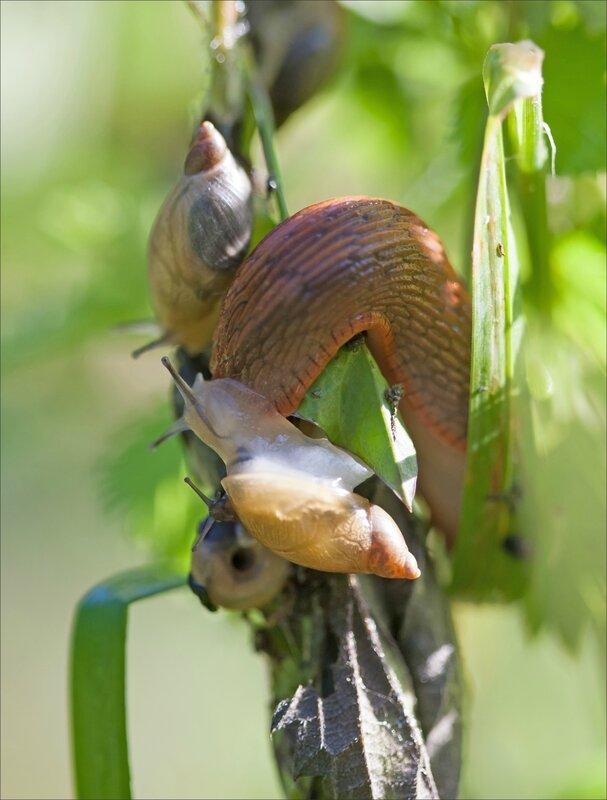 Galuchet limace escargots 180616 5