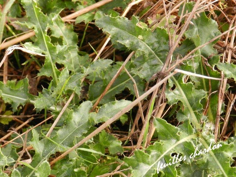 herbier chardon phoro vero 18 9 2017 (18)