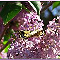 Lilas et Machaon 2204152