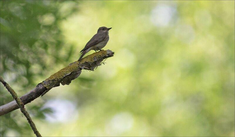 Galuchet oiseau gobemouche 200617 1