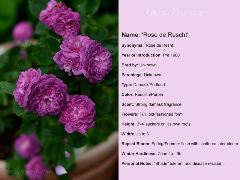 rose-de-rescht-at-a-glance