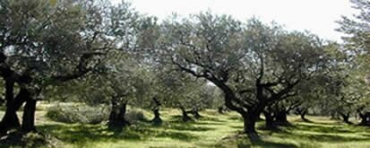 oliviersTitre