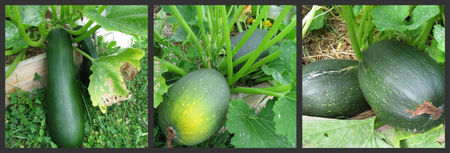 courgettes29082010_2