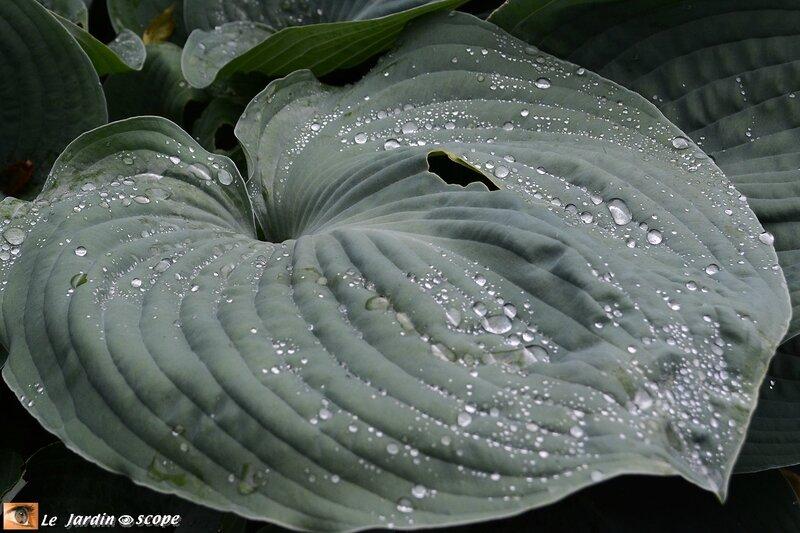9998-Hosta-perles-d'eau