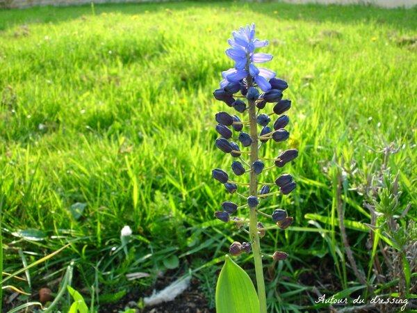 bulbe muscari bleu printemps