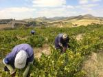 Picking_in_Swartland