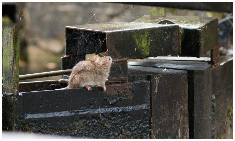 ville pluie rat ecluse 6 241016