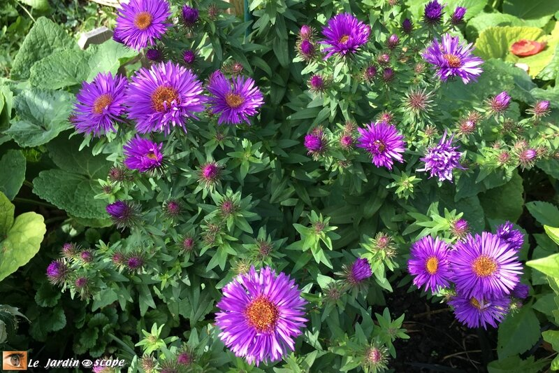 Aster-Purple-Dome