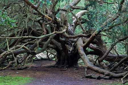 IMG_19331_kingley_vale_yew_forest
