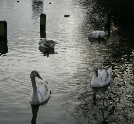 cygnes hyde park