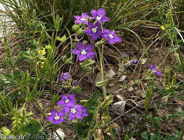 fleurs dressées subsessiles en panicules terminales pauciflores plus ou moins étalées