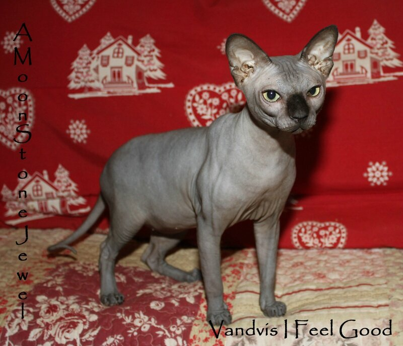 Sphynx male noir, Feelou 3 ans