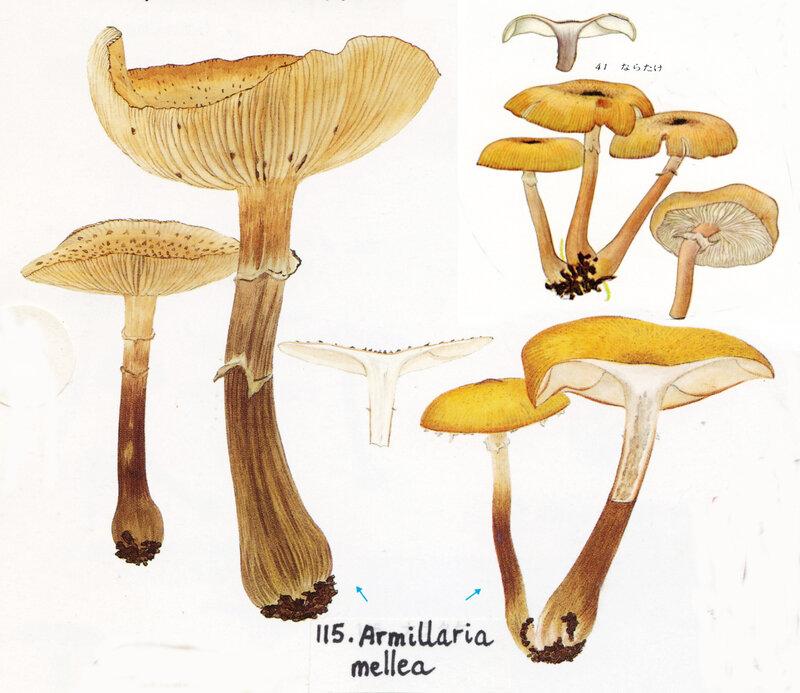 IH1 pl 17 no115 mont x2 7 41Armillaria mellea
