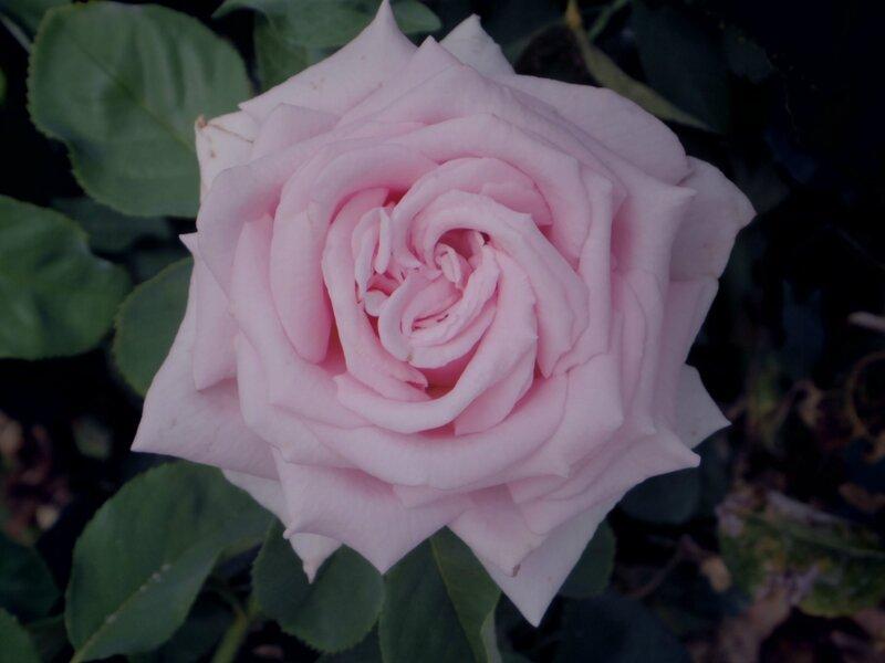IMGP0514 rose 4