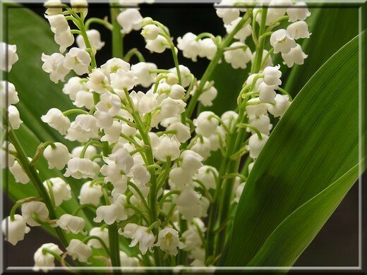 Composition muguet