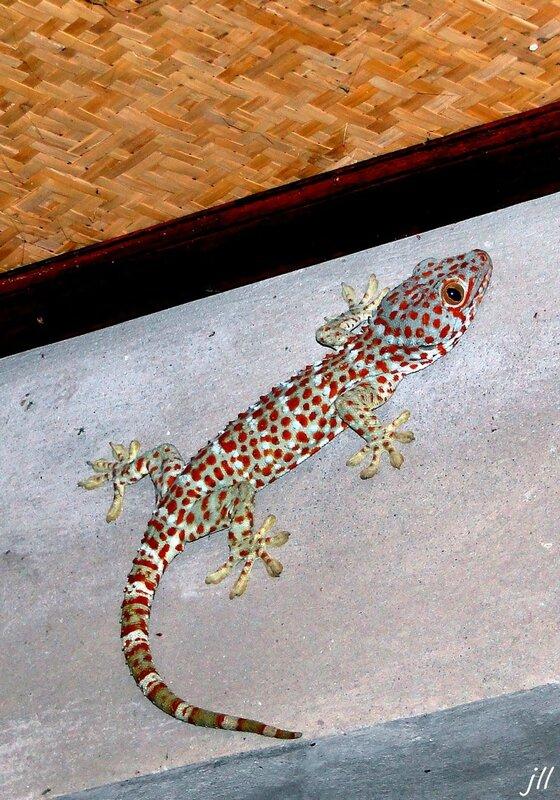 DSC05602 gecko
