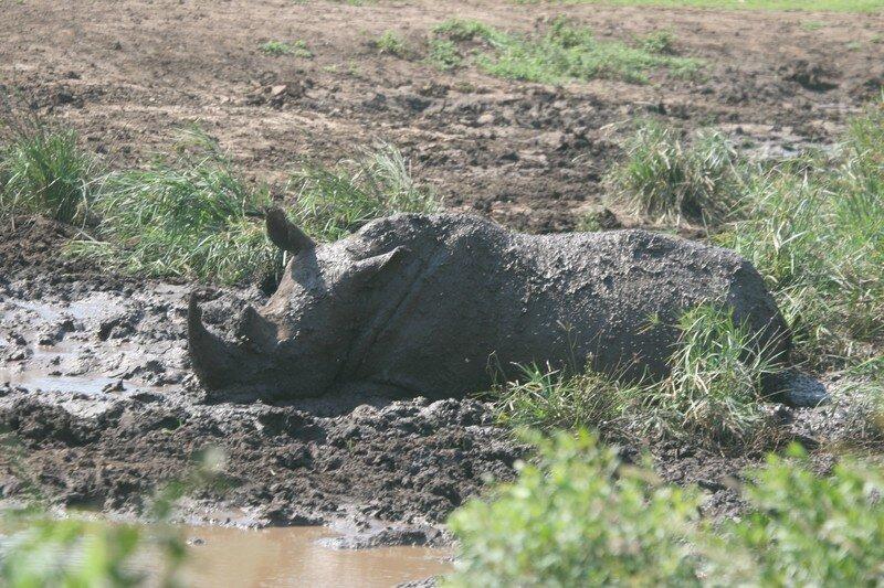 Rhinoceros in Imfolozi reserve
