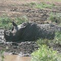 Rhinoceros in Imfolozi reserve