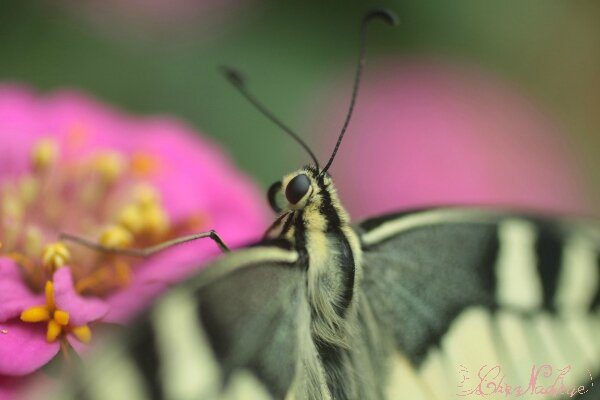 machaon_9