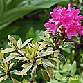 Rhododendron ferrugineux (ericacées)