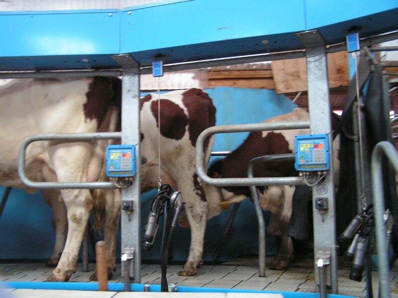 2013 10 10 - A la ferme Gelloz - A l'heure de la traite (15) - Copie