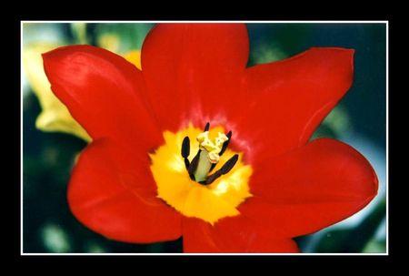 tulipe_rouge