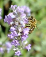 abeille sur lavande officinale