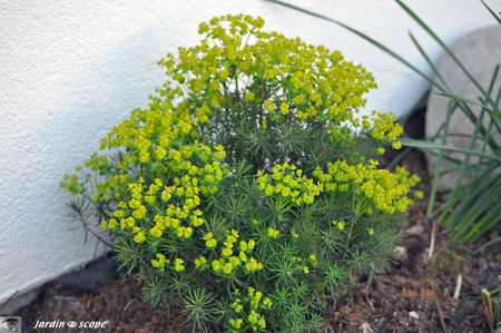 Euphorbia_cyparissias